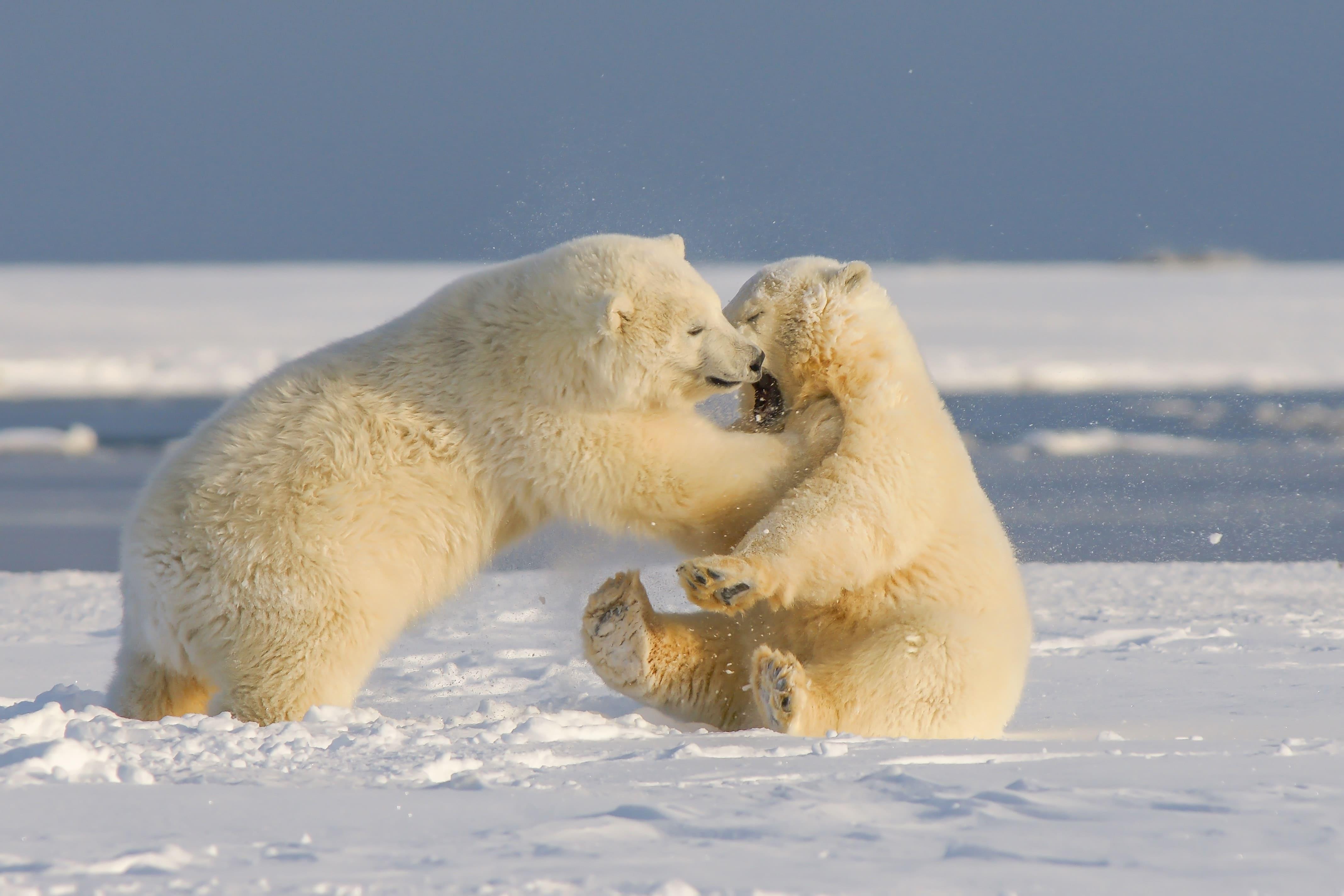 Osos polares podrían extinguirse antes de 2100