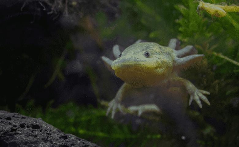 ajolotes puebla chignahuapan