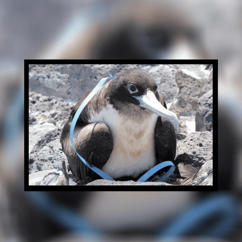 Los plásticos amenazan a las aves marinas de las zonas más remotas