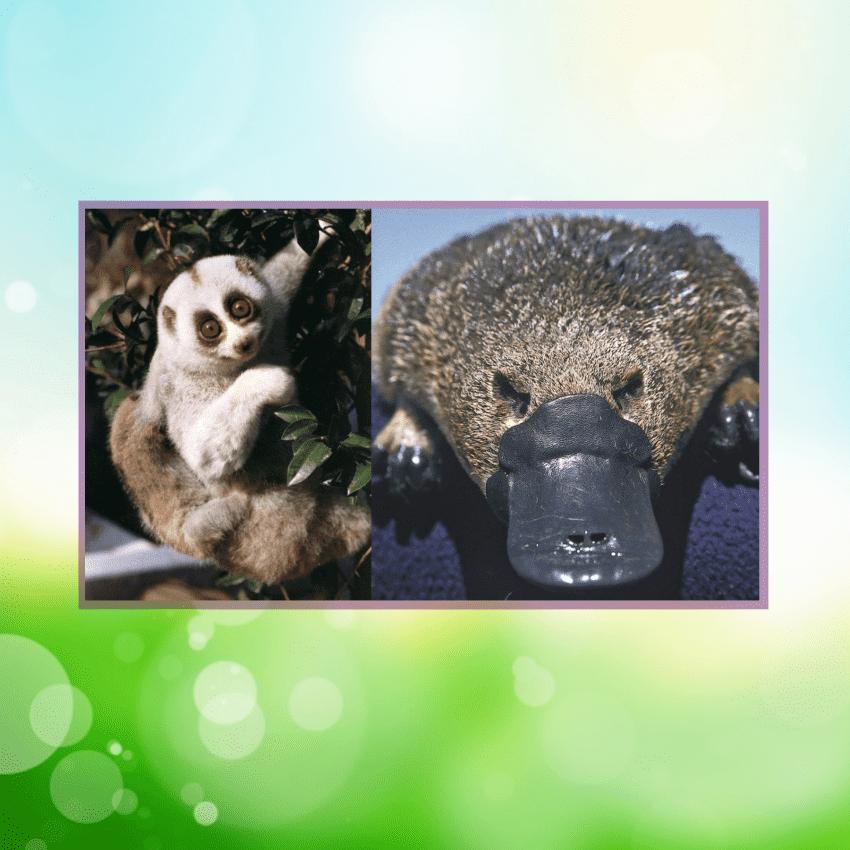 Estos mamíferos peludos y aparentemente adorables están cargados de veneno