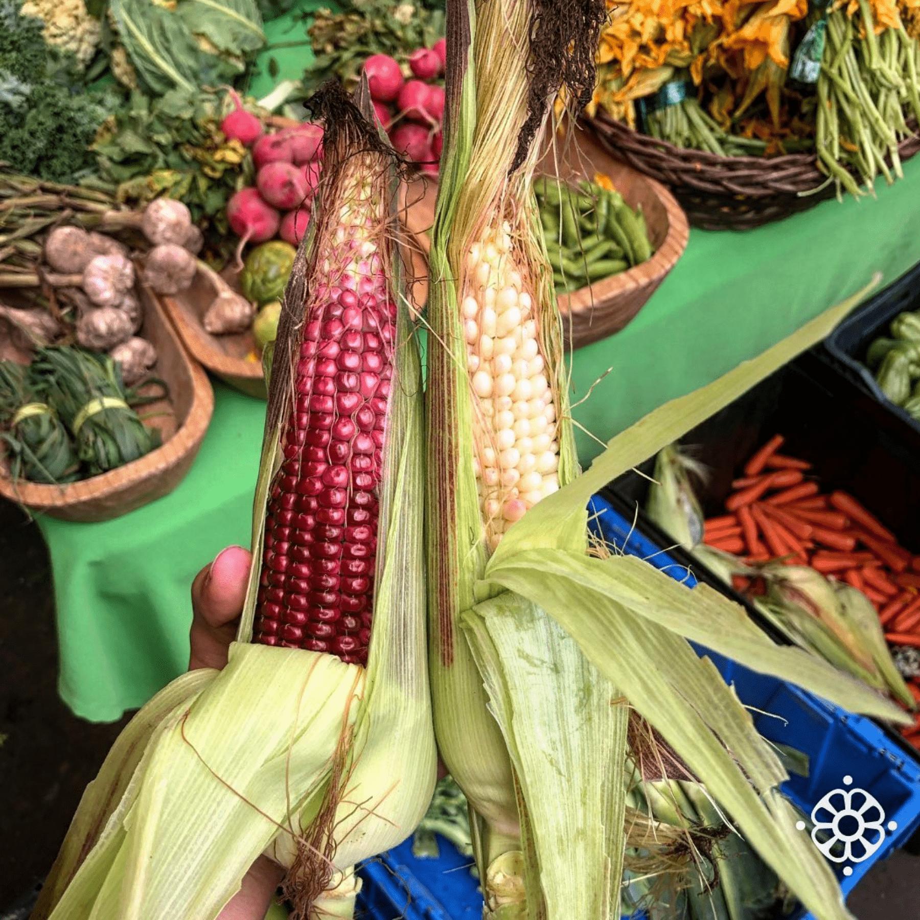 Producir alimentos orgánicos es un acto de resistencia, señalan productoras de maíz
