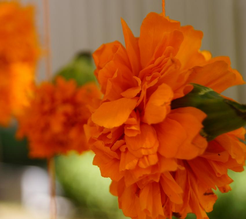 Dale otro uso a la flor de Cempasúchil