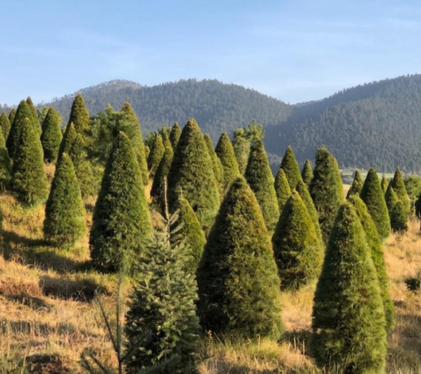 Lugares para comprar árboles de navidad naturales en Puebla