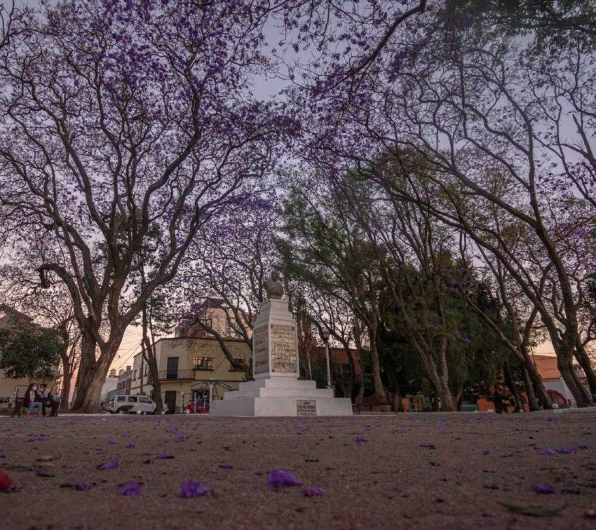 Un recorrido por las jacarandas de Puebla