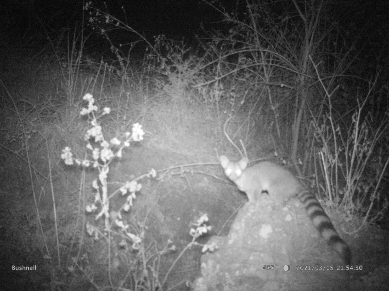 Entre las especies localizadas en el Parque Cerro del Amalucan también detectaron un cacomixtle.