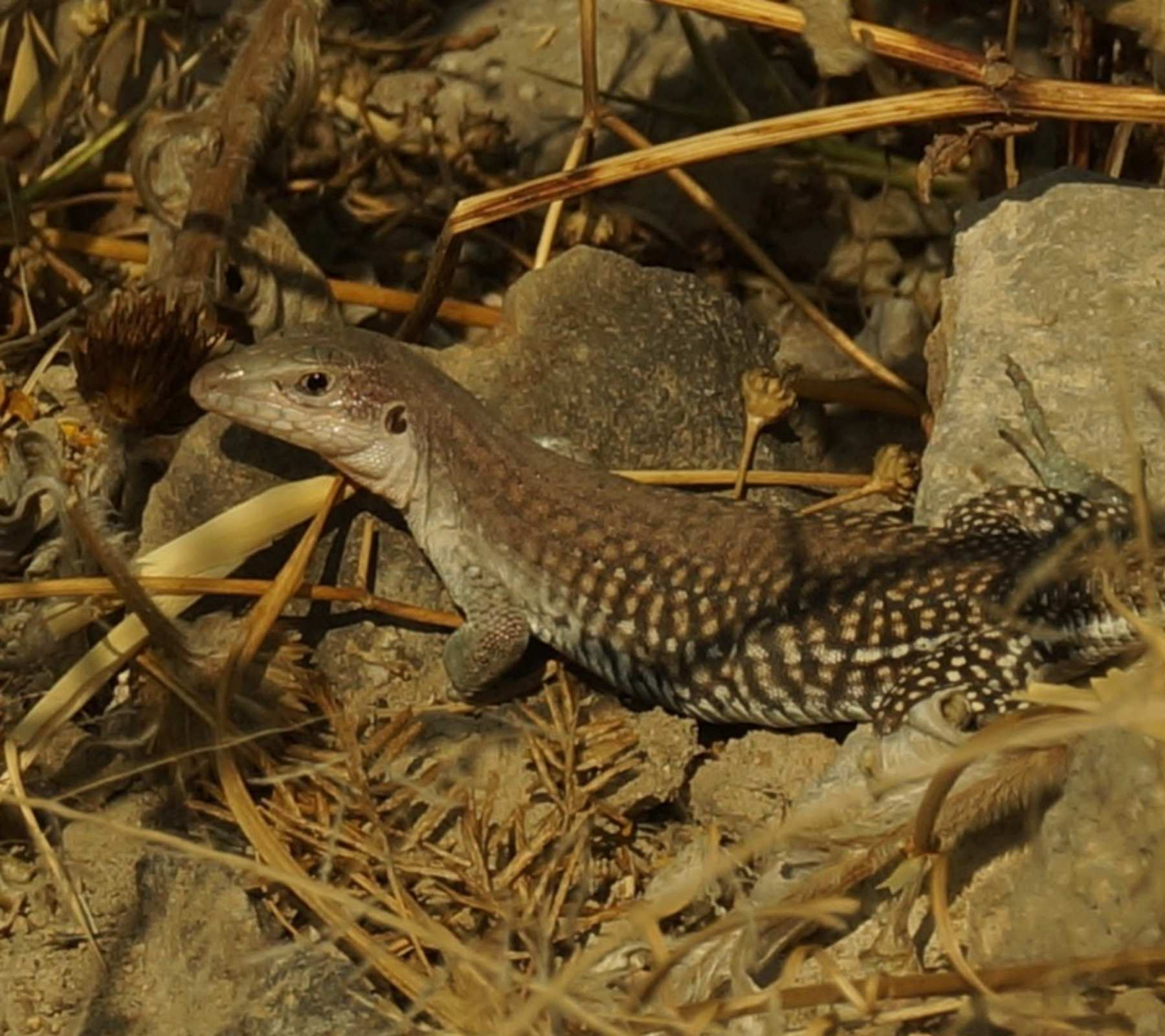 rana anfibios reptiles fauna amalucan