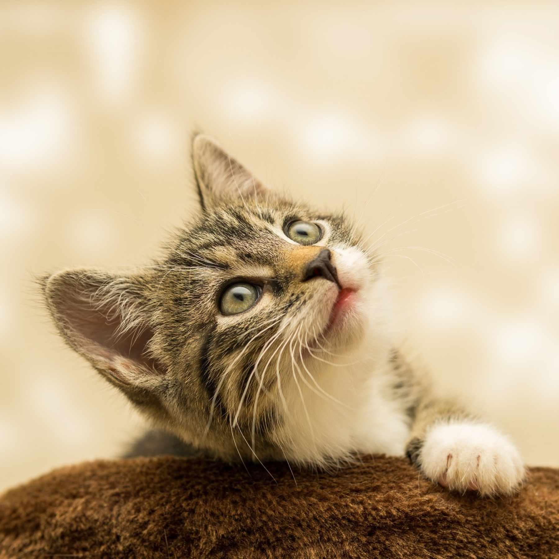 gato adopción Puebla